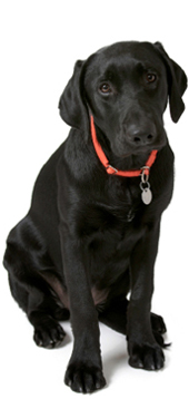 Image of an black labrador - Shrewsbury dog training